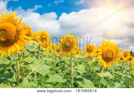 Flowering sunflowers in a field against a blue sky and clouds, agricultural background
