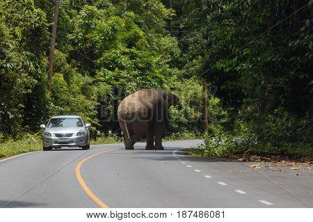 May 3rd 2017. A car drives past a wild elephant that has wandered onto the road. Khao Yai Nakhon Nayok Thailand.