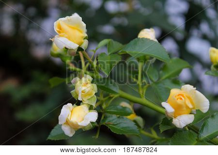 delicate little yellow roses swaying in the wind in the garden among the leaves