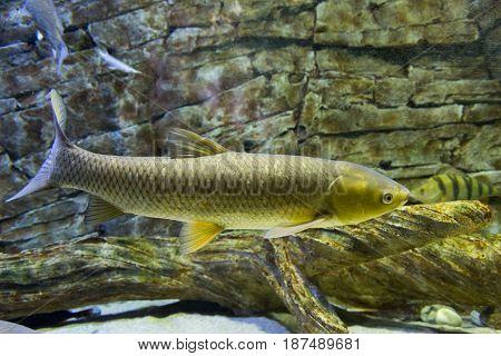 The white Amur fish in the big aquarium. Ctenopharyngodon idella