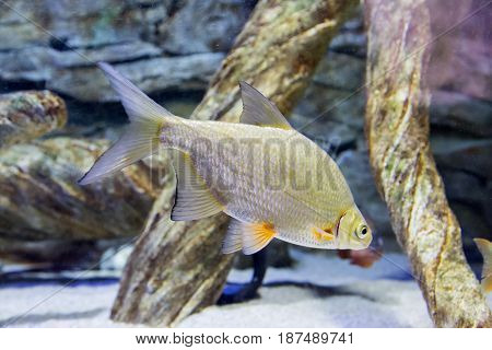 A small bream in their natural habitat in the river. Abramis brama.Cyprinidae