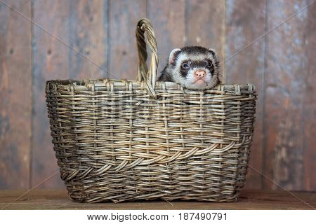 The ferret sitting in a wicker basket. Domestic animal.