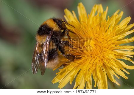 Bumble bee gathers nectar from a dandelion flower. Closeup.