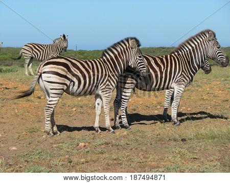 ZEBRAS, FROM KOEBERG NATURE RESERVE, CAPE TOWN, SOUTH AFRICA