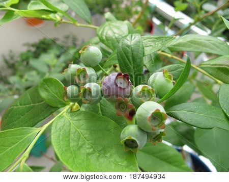 Blueberry plant with fruits in flowerpot on balcony