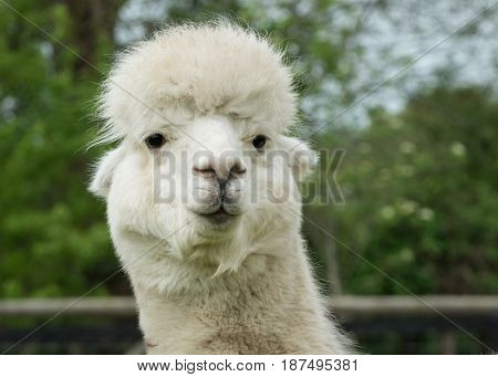 An alpaca posing nicely with an odd look on its face.