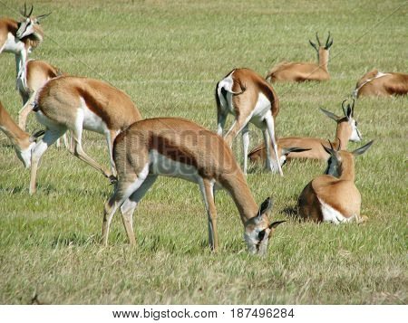 FROM KOEBERG NATURE, RESERVE, CAPE TOWN, SOUTH AFRICA, SPRINGBOK GRAZING