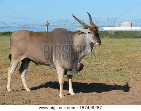 FROM KOEBURG NATURE, RESERVE, CAPE TOWN, SOUTH AFRICA, ELAND BULL
