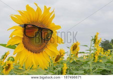 Sunglasses Of Sunflower Blooming In Sunflowers Garden