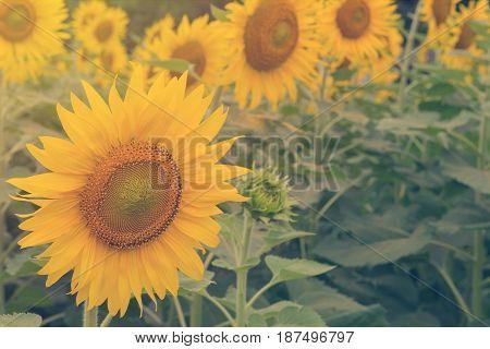 Beautiful Of Sunflower Blooming In Sunflowers Garden