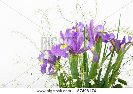 Iris flowers on white background. Purple irises.