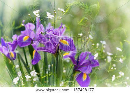Iris flowers on green background. Purple irises.