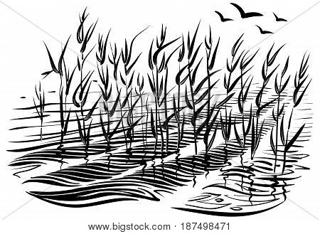 Vector illustration of cattails. Scene with river grass and water waves in the pond. Black and white graphic art line. Sketchy style.