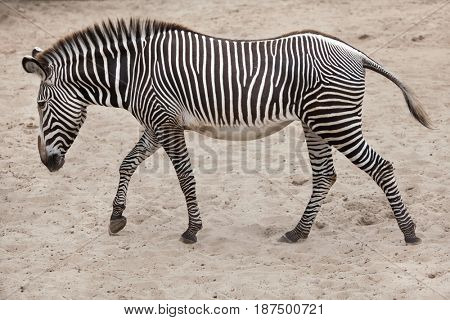 Grevy's zebra (Equus grevyi), also known as the imperial zebra.
