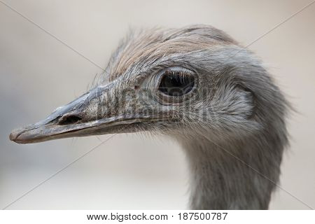 Greater rhea (Rhea americana), also known as the common rhea.