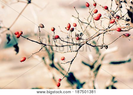 Red briar berries on the tree autumn blur background close up