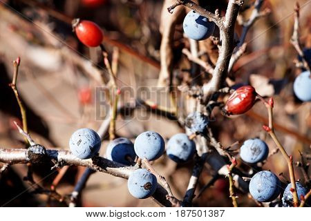 Sloe berries on blackthorn (Prunus spinosa). Thorny shrub in the rose family in Autumn