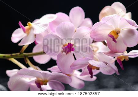 bouquet orchid –black background