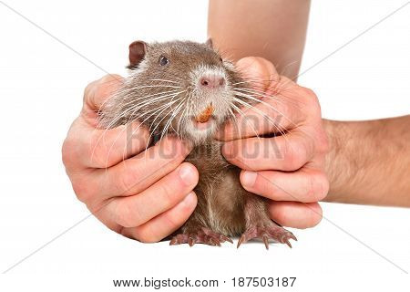 Little cute nutria in male hands, isolated on white background