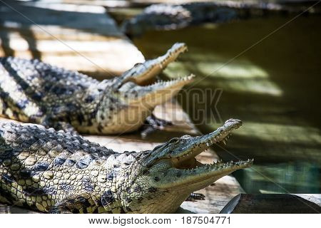 Crocodile in the cage in Hamat Gader Israel .