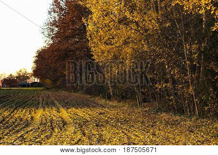 Farmland Covered With Yellow Autumn Leaves Fallen From Trees.