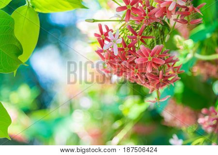 Pink Flowers Blossom, Quisqualis Indica Flower Plant , Chinese Honeysuckle, Rangoon Creeper Or Combr