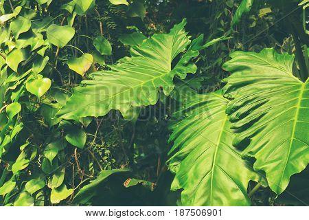 Green tropical leaves, closeup