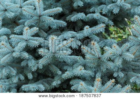 Coniferous tree blue spruce, branches, and needles