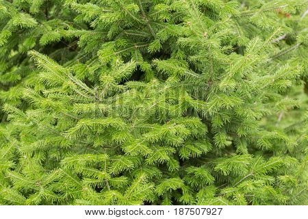 Branches of evergreen coniferous tree, fir tree texture, background