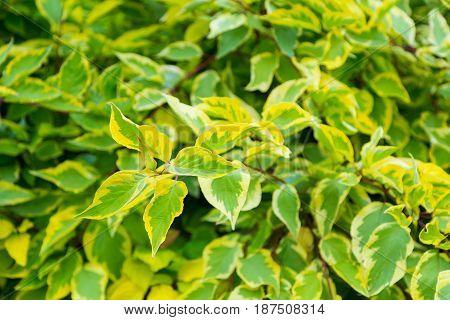 Yellow-green autumn foliage. Cornus alba, Argenteomarginata. Textured background