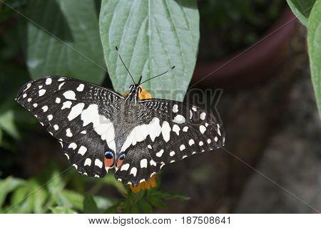 Lime Butterfly Papilio demoleus Malaysia Selective Focus