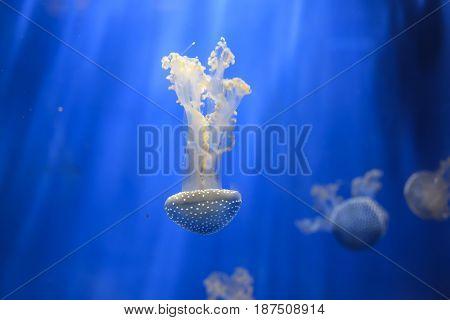 White-spotted Jellyfish Phyllorhiza Punctata
