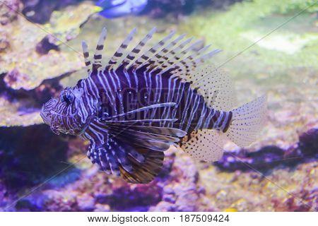 Lion's Scorpion Fish