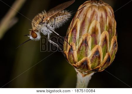 Mosquito Sitting On A Flower Bud
