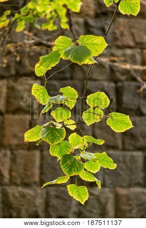 Branch with yellow green leaves on stone wall background, autumn, background, texture
