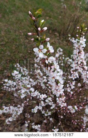 Branch of Chinese bush cherry in full bloom