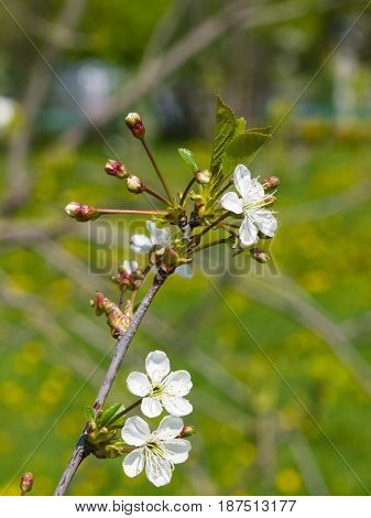 Blossom of cherry tree with bokeh background close-up selective focus shallow DOF.