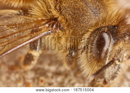 Eye And Wing Of A Working Bee Extreme Macro Close Up
