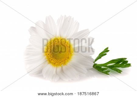 one chamomile or daisies with leaves isolated on white background.