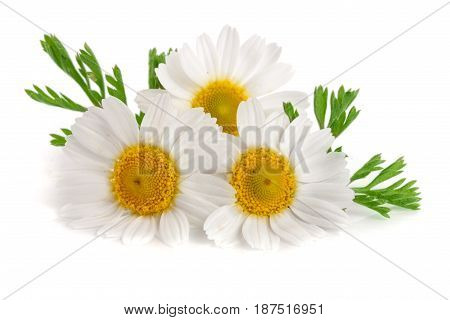 Three chamomile or daisies with leaves isolated on white background.
