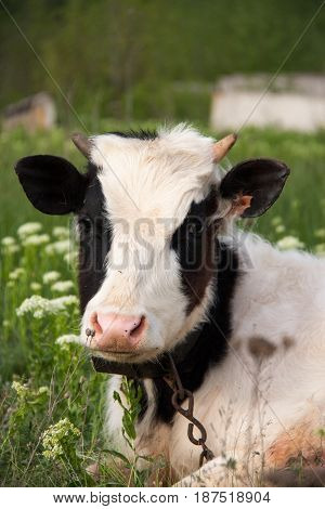 young bull grazing in a meadow in the village