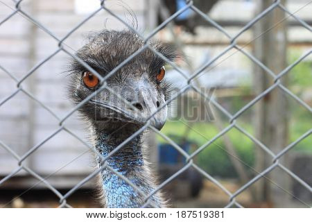 The head of ostrich close up behind iron fence in captivity, look at camera