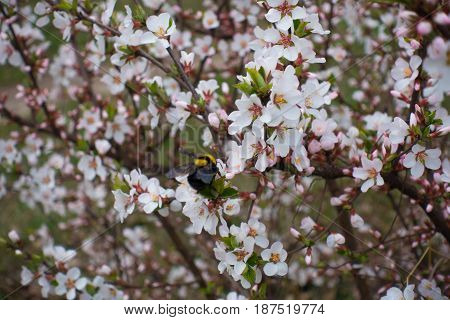 Bumble bee on the flowering branch of downy cherry