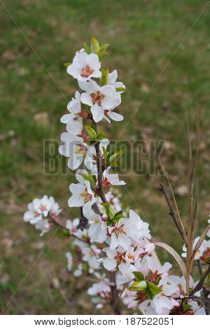 Flowering branch of Korean cherry (Prunus tomentosa)
