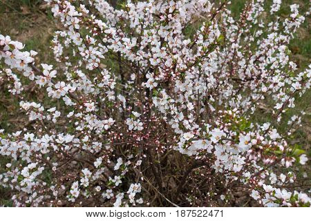 Flowering bush of Prunus tomentosa in spring