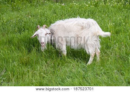 One white goat grazing on green grass in a field.