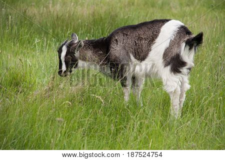 One little kid goat is grazing on the grass.