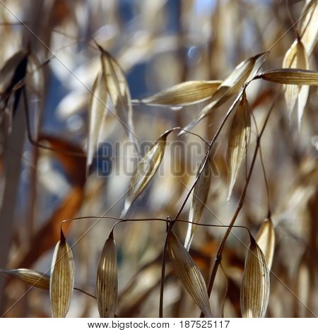 Dried Oat Ears Without Grains