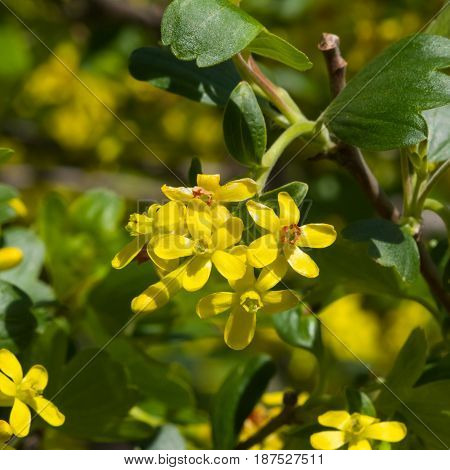 Buffalo or Golden currant Ribes aureum flowers close-up with bokeh background selective focus shallow DOF.
