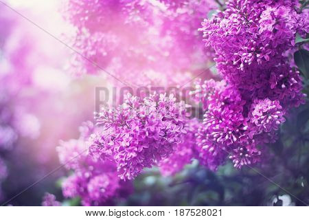 Lilac Floral Blossoming